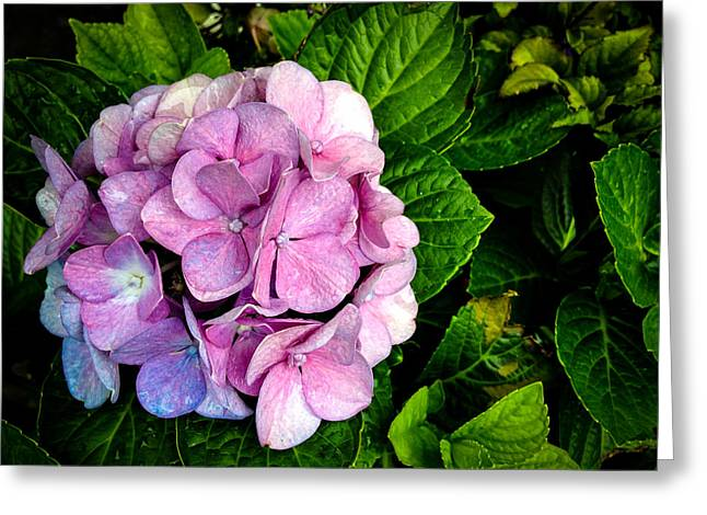 Donald Chen Greeting Cards - Hydrangea Singapore Flower Greeting Card by Donald Chen