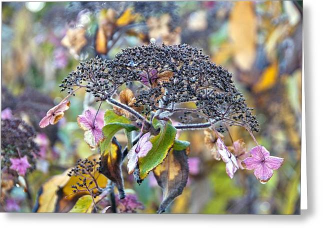 Lacecap Greeting Cards - Hydrangea villosa Greeting Card by Science Photo Library