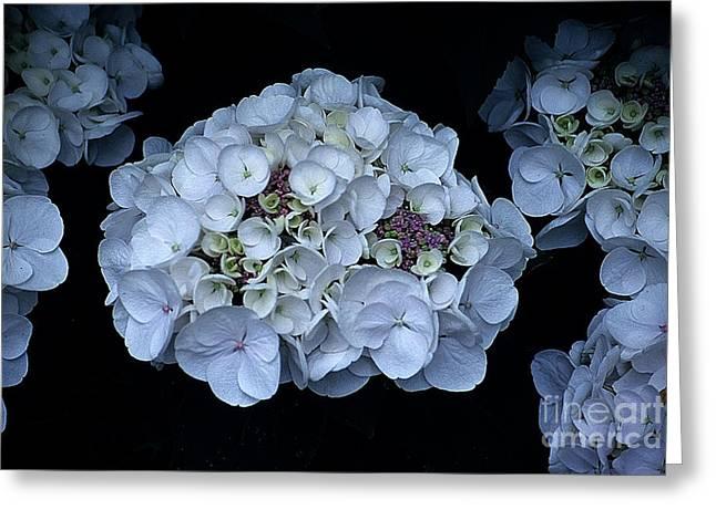 Floral Digital Art Greeting Cards - Hydrangeas I I I  Greeting Card by Sharon Elliott