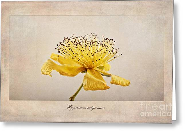 Rose Of Sharon Greeting Cards - Hypericum calycinum Greeting Card by John Edwards