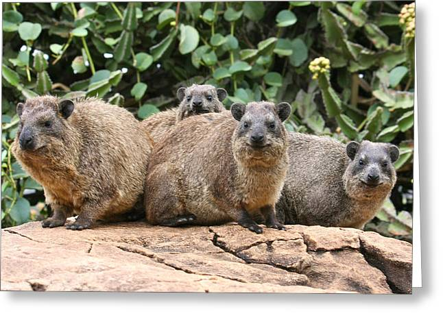 Gerbil Greeting Cards - Hyrax Family on a Rock  Greeting Card by Bob Parr