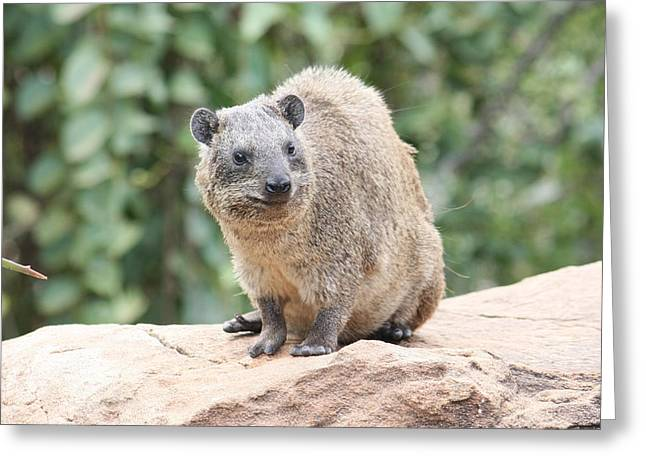 Gerbil Greeting Cards - Hyrax on a Rock Greeting Card by Bob Parr