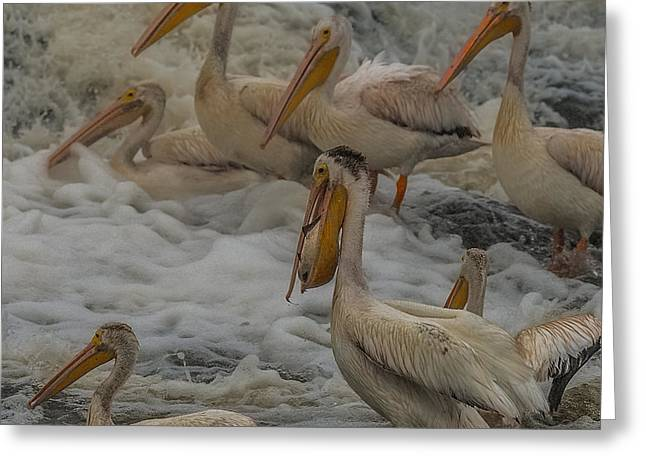 Flying White Pelicans Greeting Cards - I caught one Greeting Card by Paul Freidlund