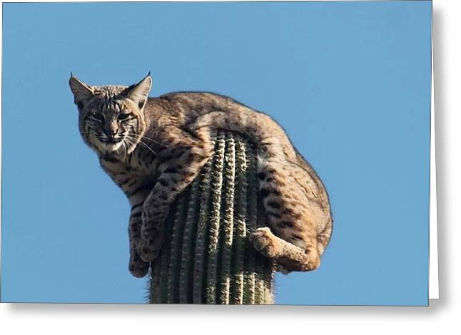 Bobcats Greeting Cards - I could use a little help here Greeting Card by Patricia Wykoff
