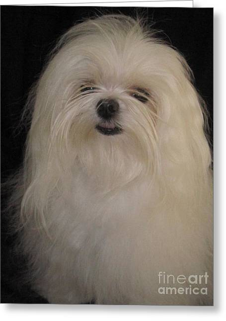 Toy Maltese Photographs Greeting Cards - I dont like topknots Greeting Card by Margaret Newcomb