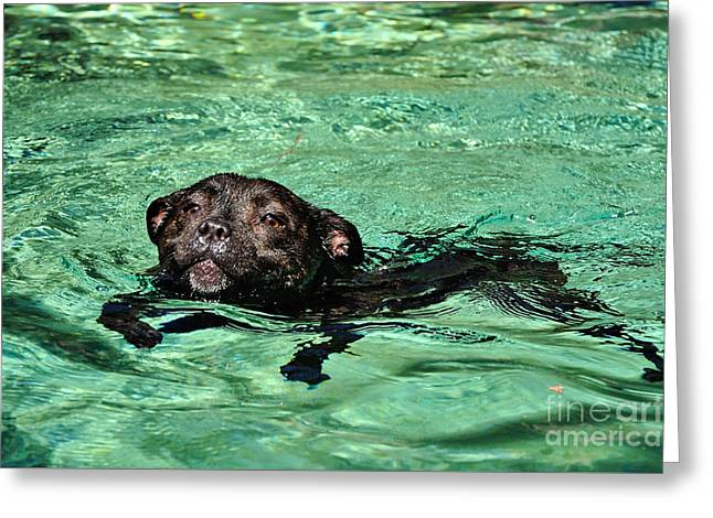Staffordshire Bull Terrier Greeting Cards - I must keep my mouth shut Greeting Card by Kaye Menner