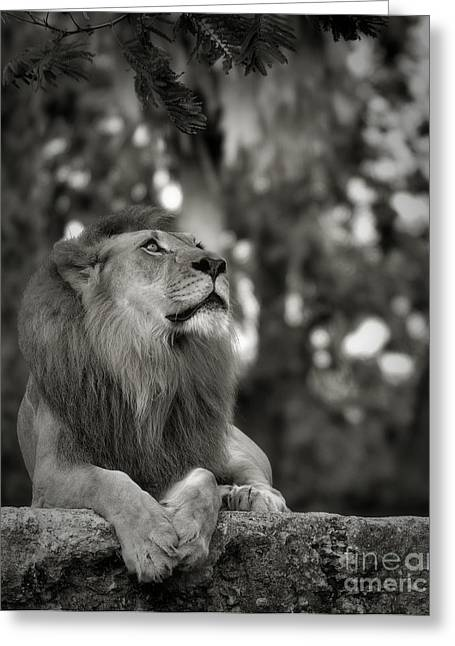 Lions Greeting Cards - I See Hope Greeting Card by Adrian Tavano