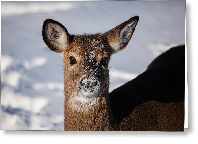 Deer In Snow Greeting Cards - I Was Not Playing In The Snow Greeting Card by Karol  Livote