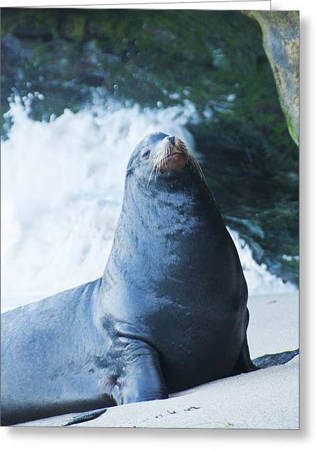 California Sea Lions Greeting Cards - I will Have Mine Smoked Please Greeting Card by Daniel Hebard