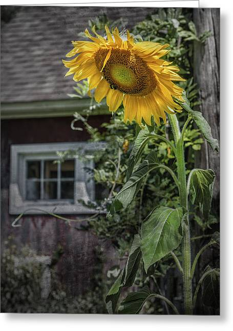 Buttonwood Farm Greeting Cards - I Wish for A Sunflower Greeting Card by Thomas Schoeller