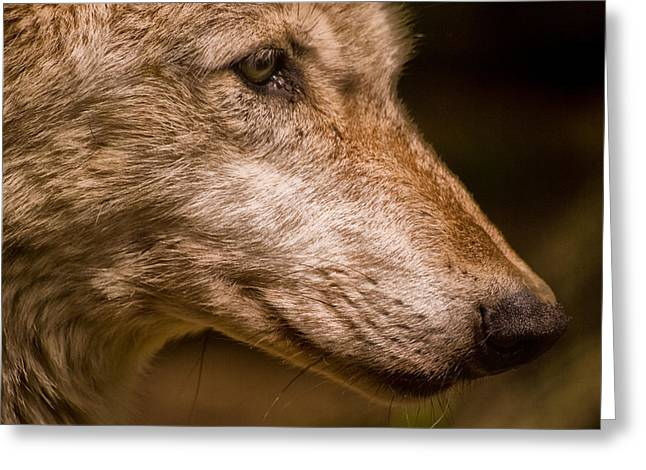 Lethbridge Greeting Cards - Iberian Wolf - Canis lupus signatus Greeting Card by Jay Lethbridge