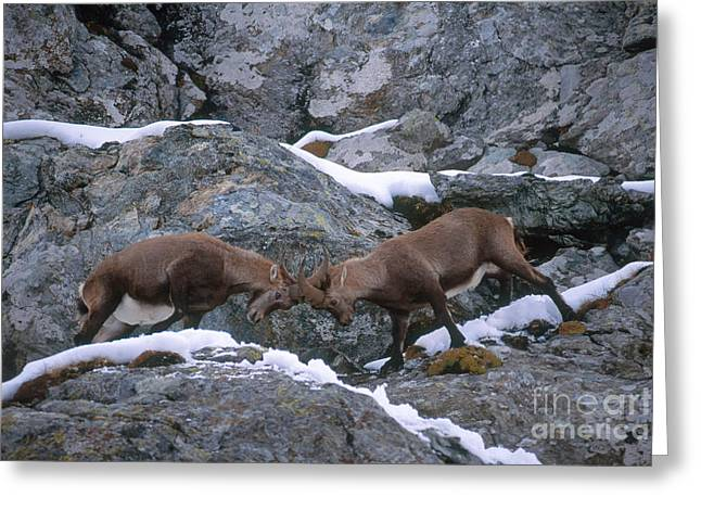 Ibexes Sparring Greeting Card by Art Wolfe