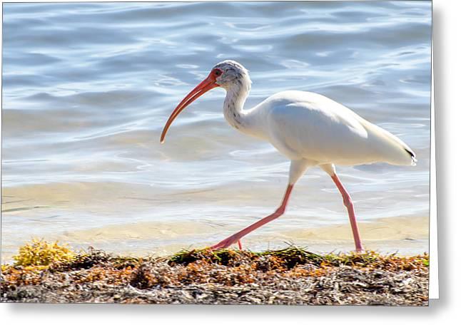 Florida Keys Greeting Cards - Ibis at Waters Edge Greeting Card by Vaughn Garner