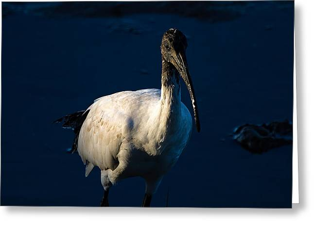 Australia Photographs Greeting Cards - Ibis by Moonlight Greeting Card by Mr Bennett Kent