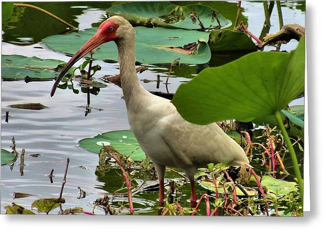The Swamp Greeting Cards - Ibis in the Wild Greeting Card by Dan Sproul