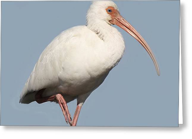 Ibis Up Close Greeting Card by Paulette Thomas