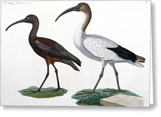 Wading Bird Greeting Cards - Ibises Greeting Card by Jules Cesar Savigny