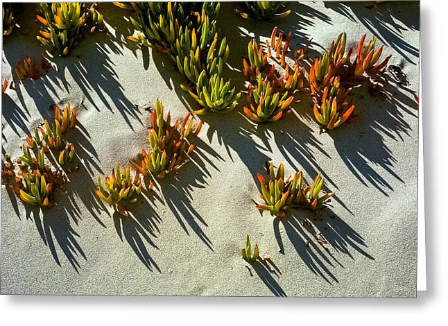 Invasive Species Greeting Cards - Ice plant in sand Greeting Card by David Smith