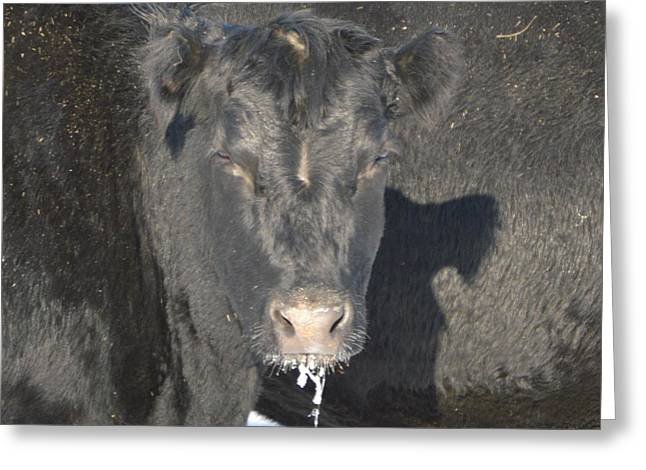 Angus Steer Greeting Cards - Iced Beef Greeting Card by Bonfire Photography
