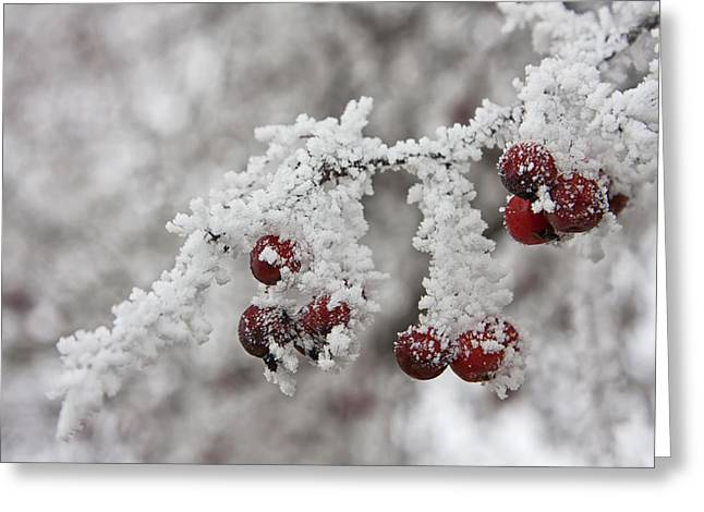 Red Berries Greeting Cards - Iced Hawthorn Greeting Card by Mark Kiver