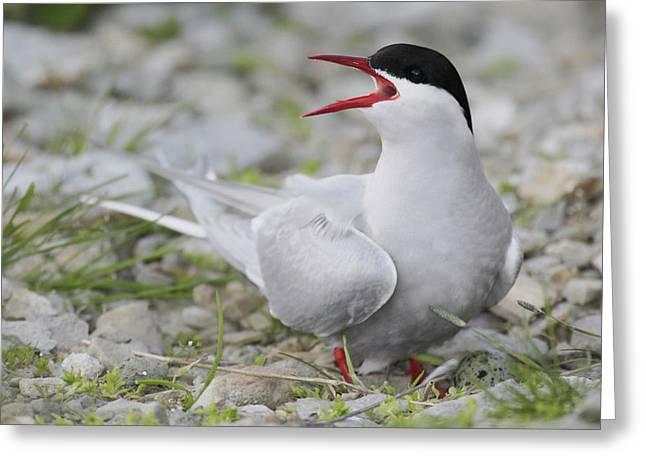 Iceland Artic Tern Screams While Greeting Card by Jaynes Gallery