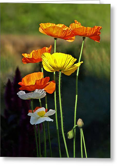 Garden Petal Image Greeting Cards - Iceland Poppies in the Sun Greeting Card by Gill Billington