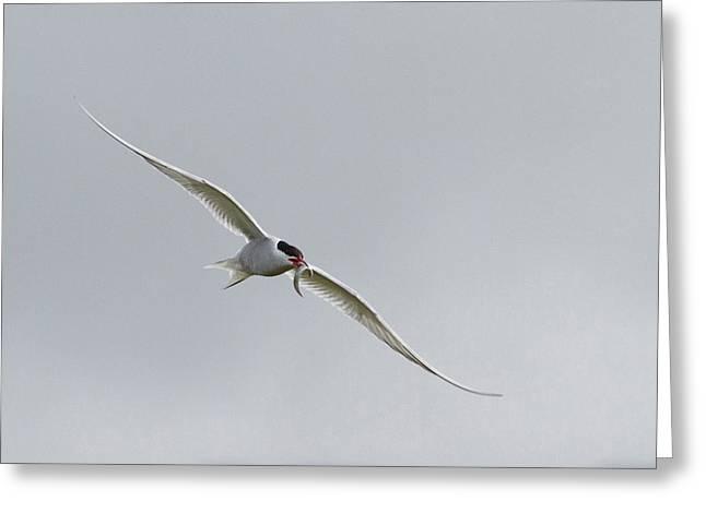 Iceland, Vik Arctic Tern Flying Greeting Card by Jaynes Gallery