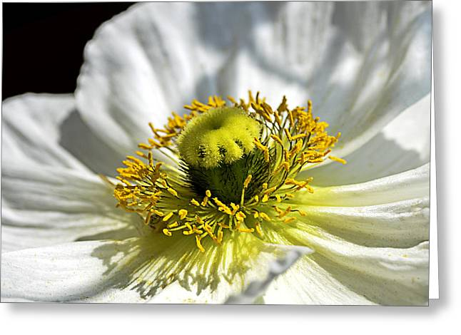 Peace Square Format Greeting Cards - Iceland White Poppy Greeting Card by Julie Palencia
