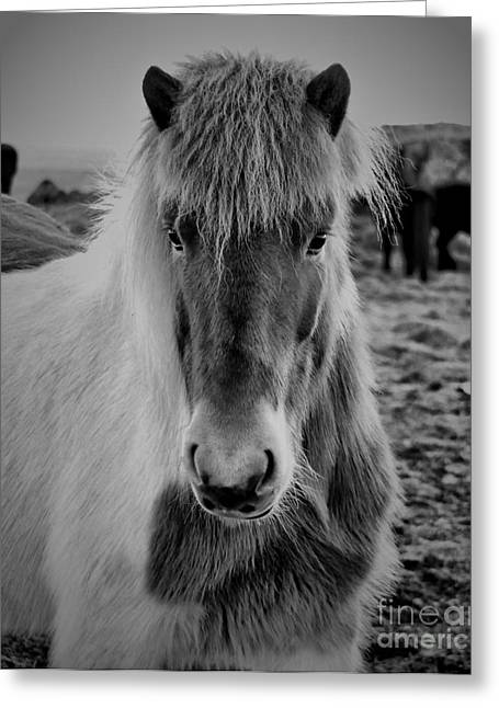 Grazing Snow Greeting Cards - Icelandic Horse Greeting Card by Alicja Magdalena Zbikowska