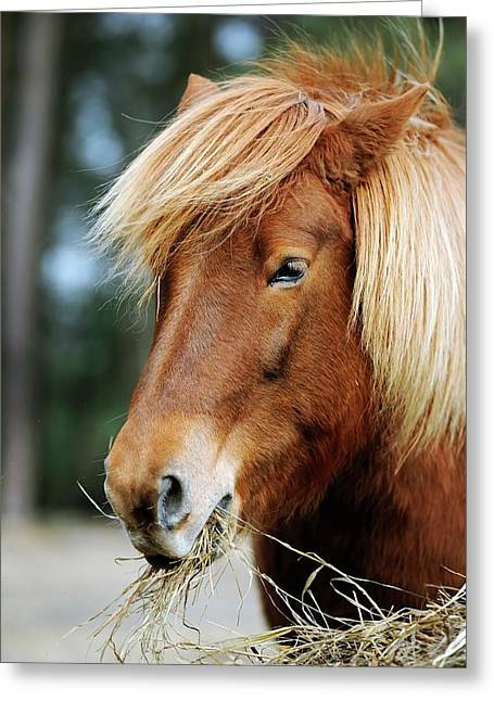 Icelandic Horse Greeting Card by Bildagentur-online/mcphoto-schulz