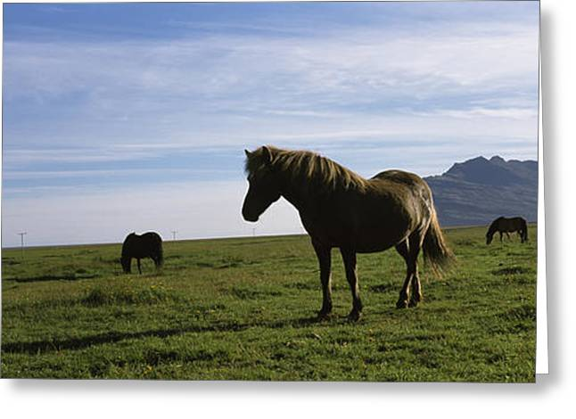 Four Animals Greeting Cards - Icelandic Horses In A Field, Svinafell Greeting Card by Panoramic Images