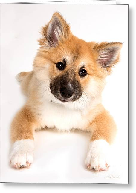 Commercial Photography Greeting Cards - Icelandic Sheepdog Puppy  Greeting Card by Iris Richardson