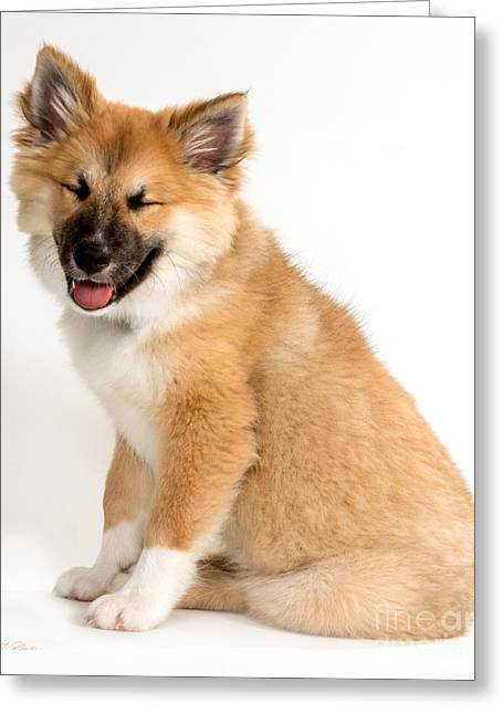 Reliable Greeting Cards - Icelandic Sheepdog Puppy Squinting Greeting Card by Iris Richardson