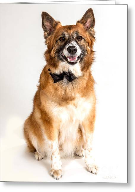 Black Tie Greeting Cards - Icelandic Sheepdog with Black Bow Tie Greeting Card by Iris Richardson