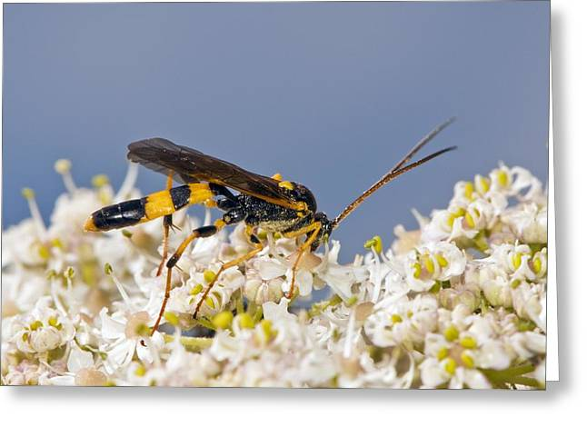 Eating Entomology Greeting Cards - Ichneumon wasp feeding on flowers Greeting Card by Science Photo Library
