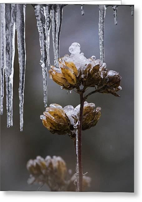 Rose Of Sharon Greeting Cards - Icicles and Ice Flowers Greeting Card by Angie Vogel
