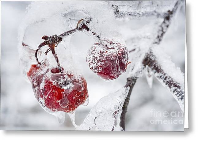 Icy Branch With Crab Apples Greeting Card by Elena Elisseeva