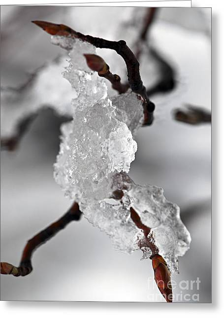 Icy Elegance Greeting Card by Elena Elisseeva