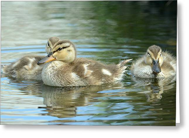 Baby Mallards Greeting Cards - Idyllic Greeting Card by Fraida Gutovich