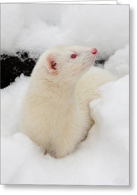 White Ferret Greeting Cards - If I Stay Completely Still Greeting Card by Nigel Espley