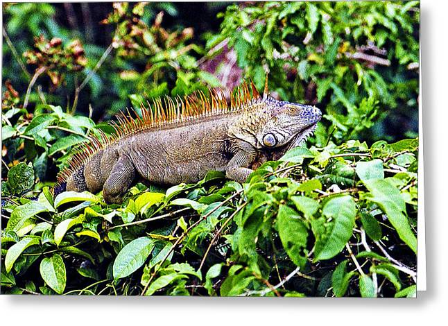 Large Scale Greeting Cards - Iguana at Rest Greeting Card by Evan Peller