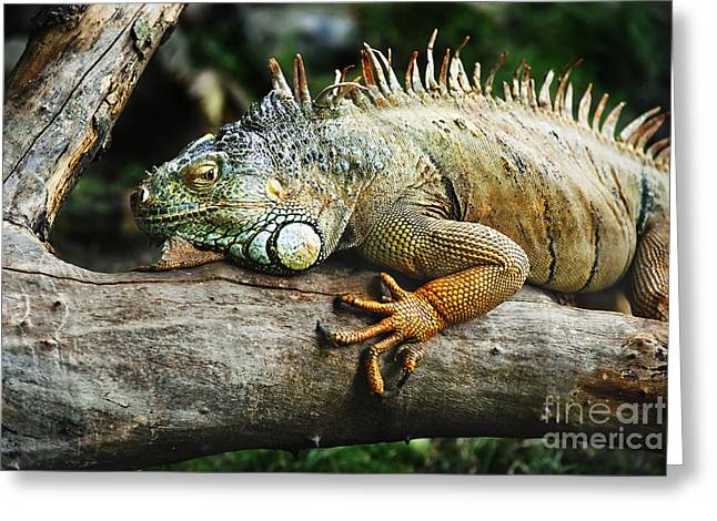 Forest Pyrography Greeting Cards - Iguana Greeting Card by Jelena Jovanovic