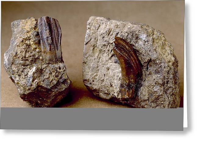 Gideon Greeting Cards - Iguanodon dinosaur, fossil teeth Greeting Card by Science Photo Library