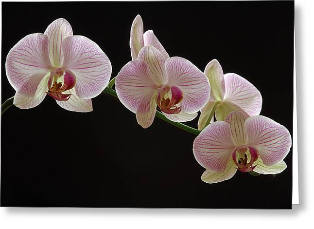 Orchid Artwork Greeting Cards - Illuminated Orchid Greeting Card by Juergen Roth
