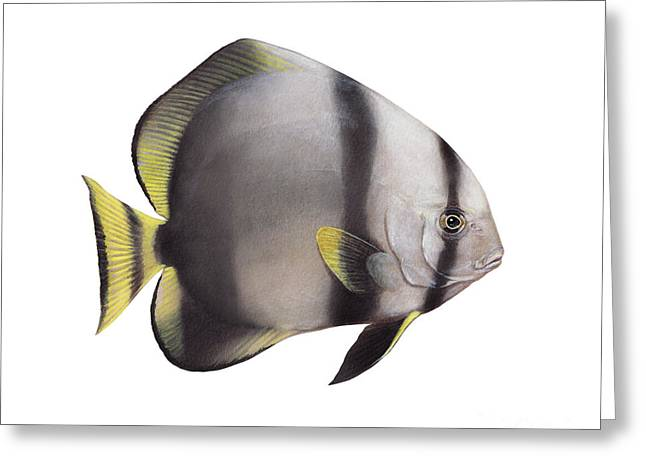 Spadefish Greeting Cards - Illustration Of A Batfish, White Greeting Card by Carlyn Iverson