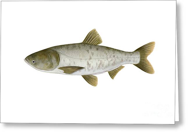 Nobilis Greeting Cards - Illustration Of A Bighead Carp Greeting Card by Carlyn Iverson