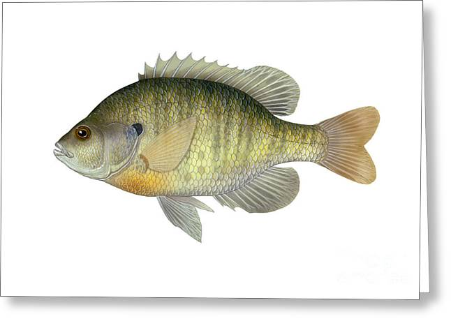 Bluegill Greeting Cards - Illustration Of A Bluegill, Freshwater Greeting Card by Carlyn Iverson
