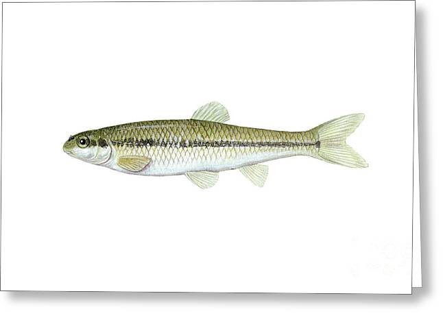 Minnows Greeting Cards - Illustration Of A Bluntnose Minnow Greeting Card by Carlyn Iverson