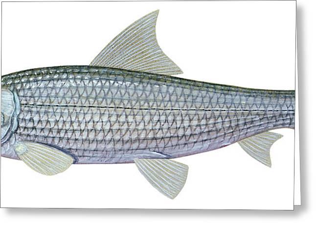 Bonefish Greeting Cards - Illustration Of A Bonefish Albula Greeting Card by Carlyn Iverson