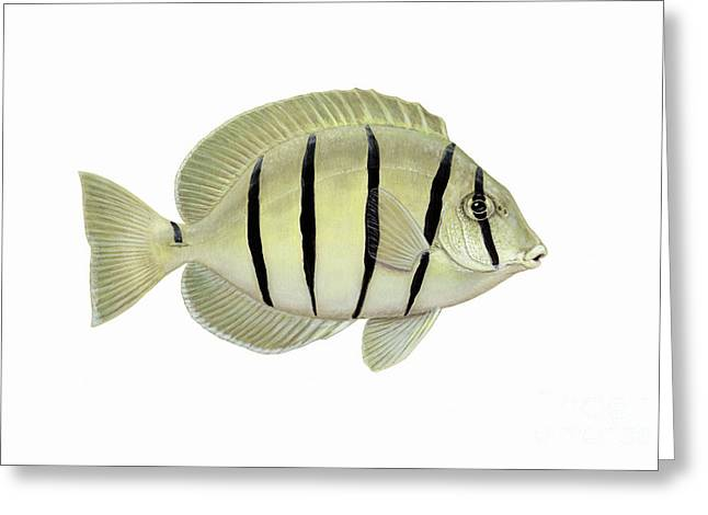 Acanthuridae Greeting Cards - Illustration Of A Convict Tang Fish Greeting Card by Carlyn Iverson
